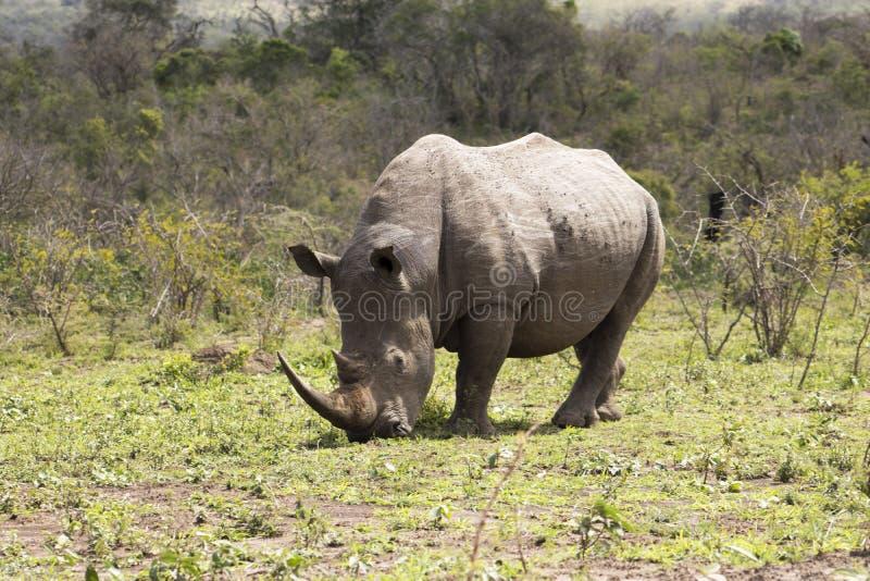 White Rhino grazing. White Rhino captured in the wilderness of Hluhluwe Imfolozi Reserve, KwaZulu-Natal, South Africa stock photos
