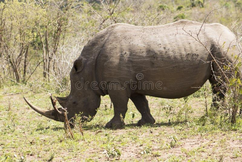 White Rhino grazing. White Rhino captured in the wilderness of Hluhluwe Imfolozi Reserve, KwaZulu-Natal, South Africa royalty free stock images