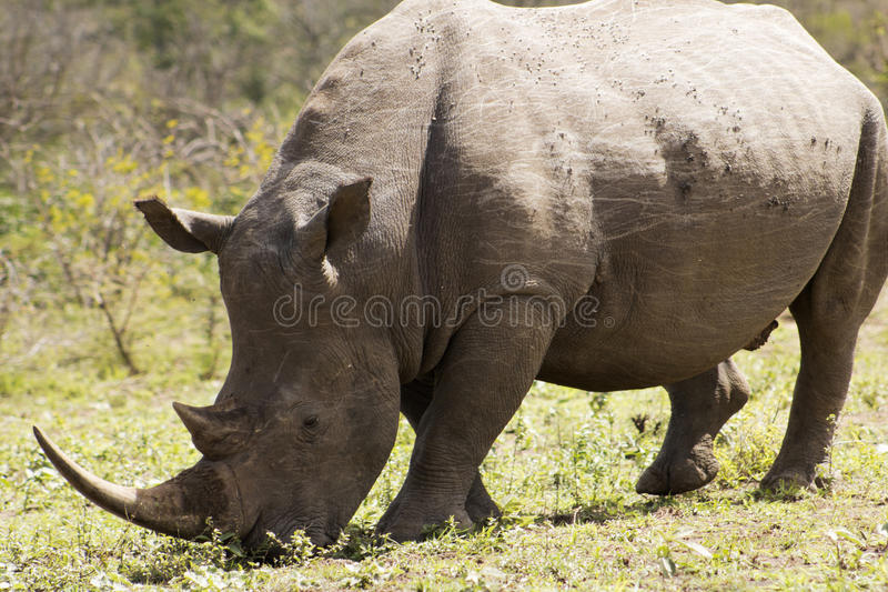 White Rhino grazing. White Rhino captured in the wilderness of Hluhluwe Imfolozi Reserve, KwaZulu-Natal, South Africa stock photo