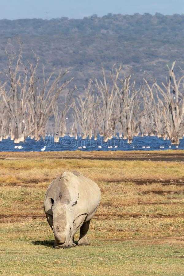 White rhino grazing at the edge of Lake Nakura. The alkaline waters are full of dead trees that were engulfed when the water level increased stock photo