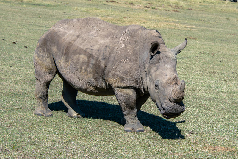 White rhino. A white rhino grazing in a game reserve in South Africa stock images