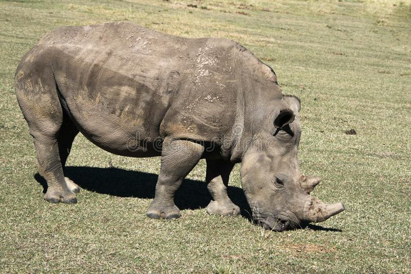 White rhino. A white rhino grazing in a game reserve in South Africa royalty free stock image