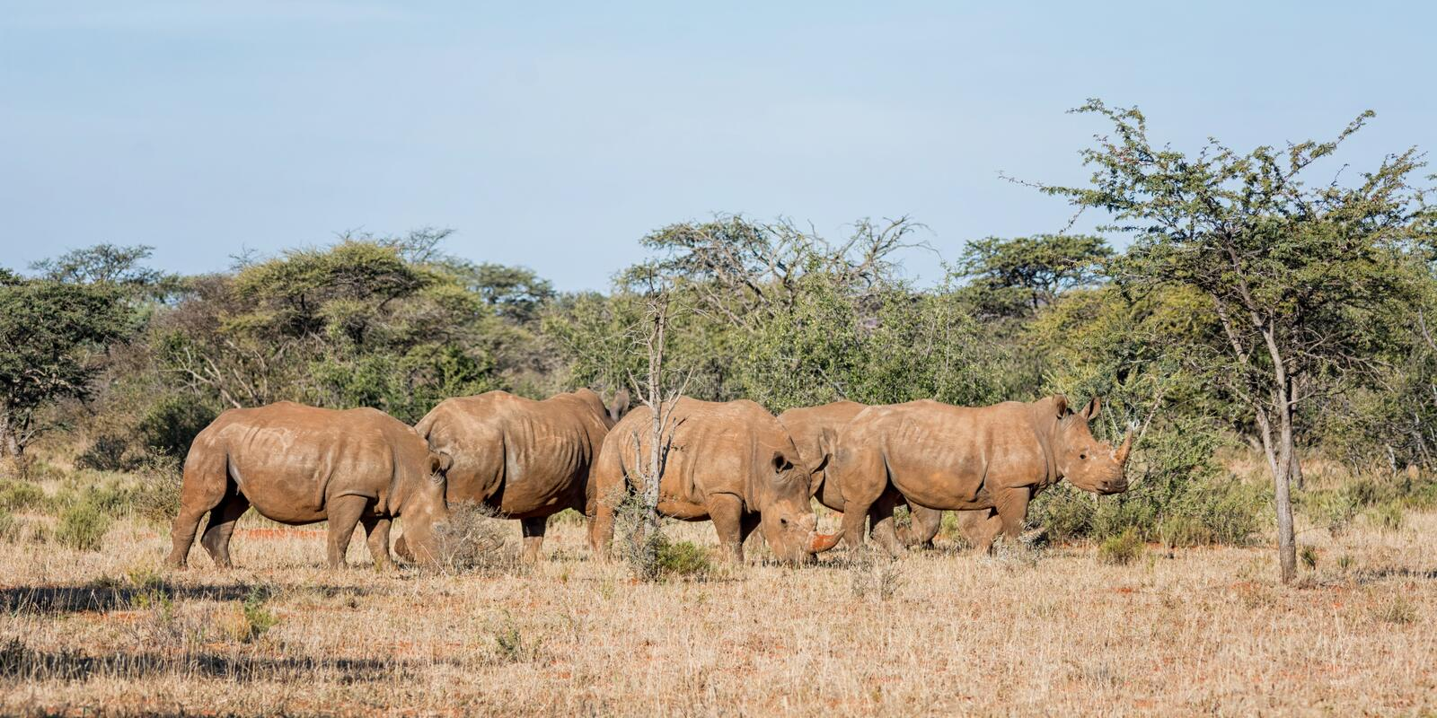 White Rhino Group. A group of five White Rhino in Southern African savanna royalty free stock image