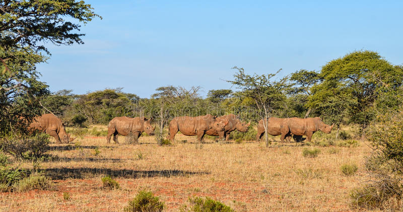 White Rhino Group. A group of five White Rhino in Southern African savanna stock photography