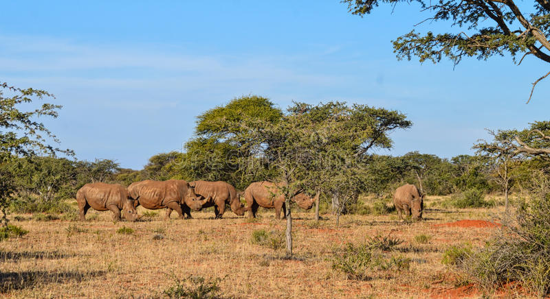 White Rhino Group. A group of five White Rhino in Southern African savanna stock image