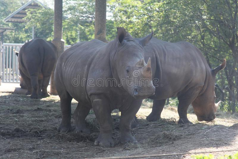 White rhino with group in safari.  royalty free stock photography