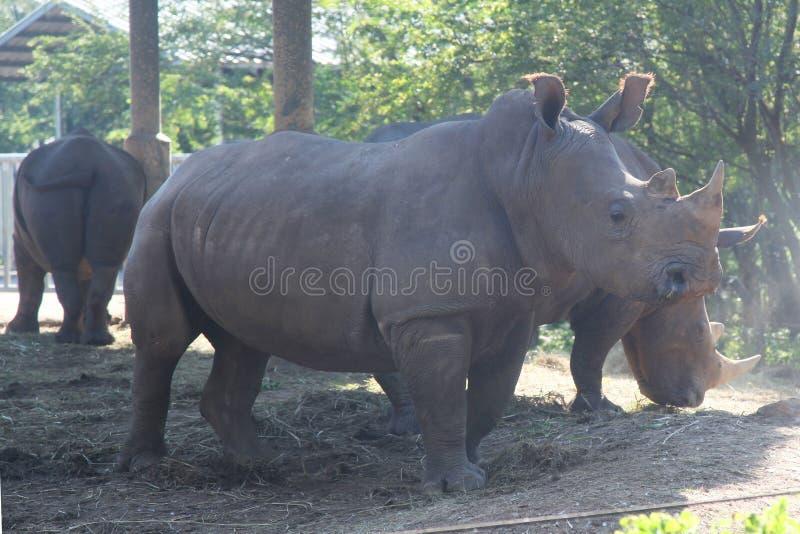 White rhino with group in safari.  stock photos