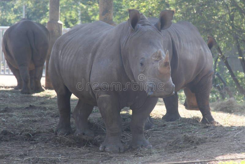White rhino with group in safari.  stock photo