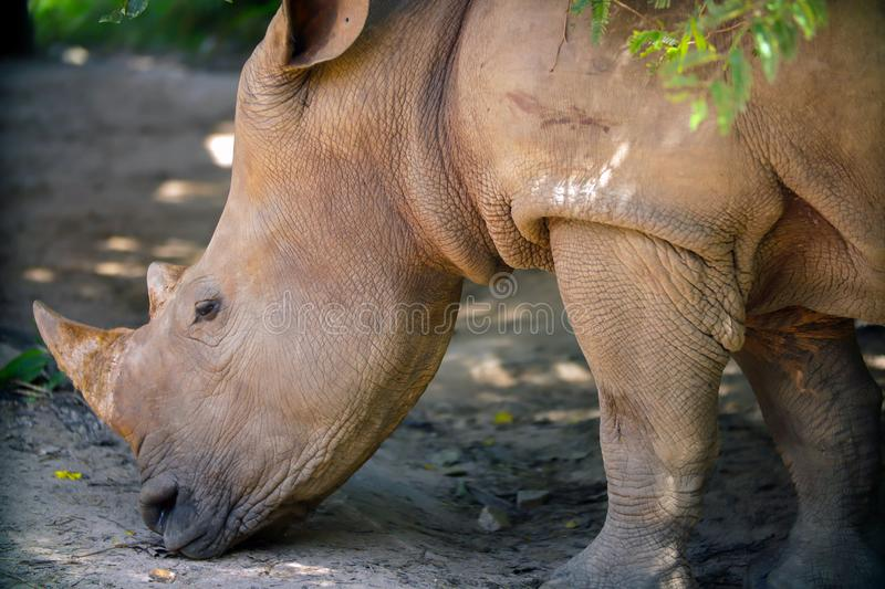 White Rhino head. Close-up of white rhino head with light and shadow stock photos