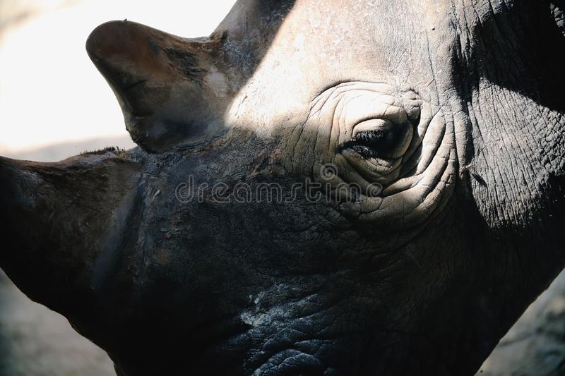 White Rhino head. Close-up of white rhino head with light and shadow stock photo
