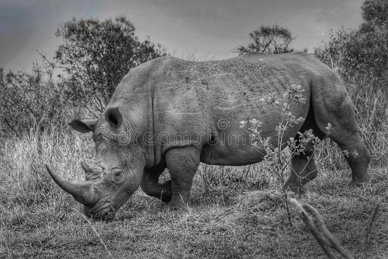 White rhino in het Nationaal Park Kruger royalty-vrije stock fotografie