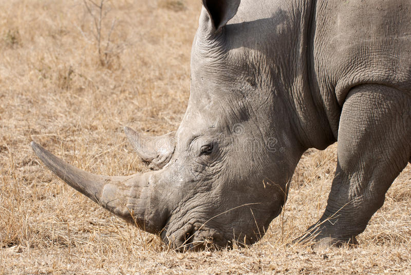 White Rhino Horn. Side view White Rhino head with horn royalty free stock images