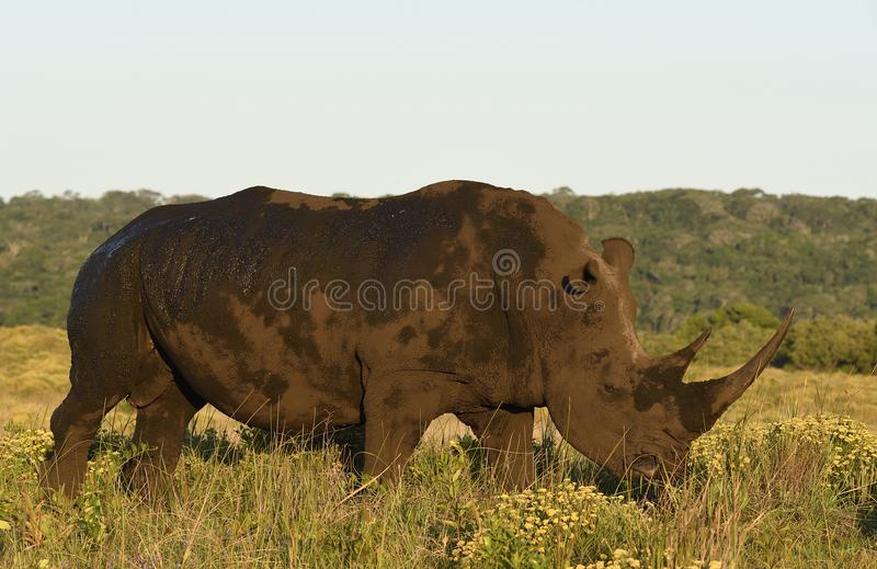White Rhino in ISimangaliso Wetland Park South Africa. White Rhino covered in mud, eating grass. ISimangaliso Wetland Park, KwaZulu-Natal, South Africa stock photos
