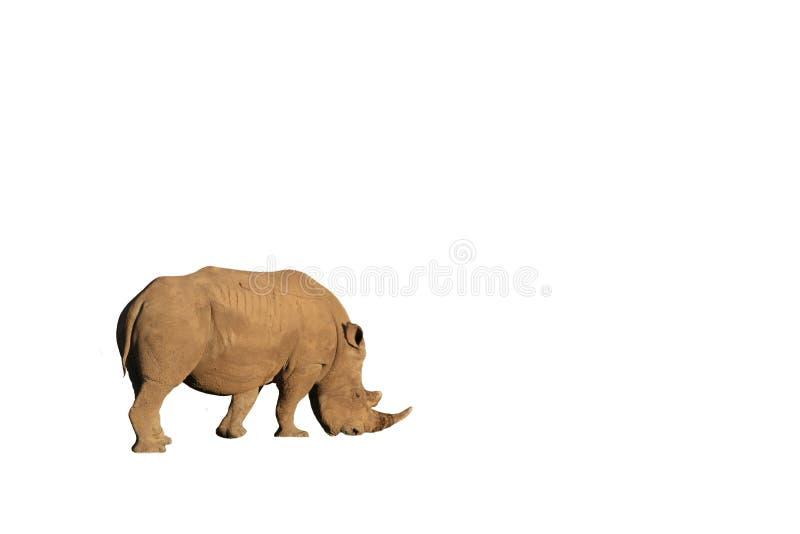 White rhino isolated. On a royalty free stock photos