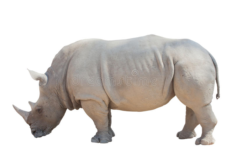 White rhino isolated. On the white background stock photo