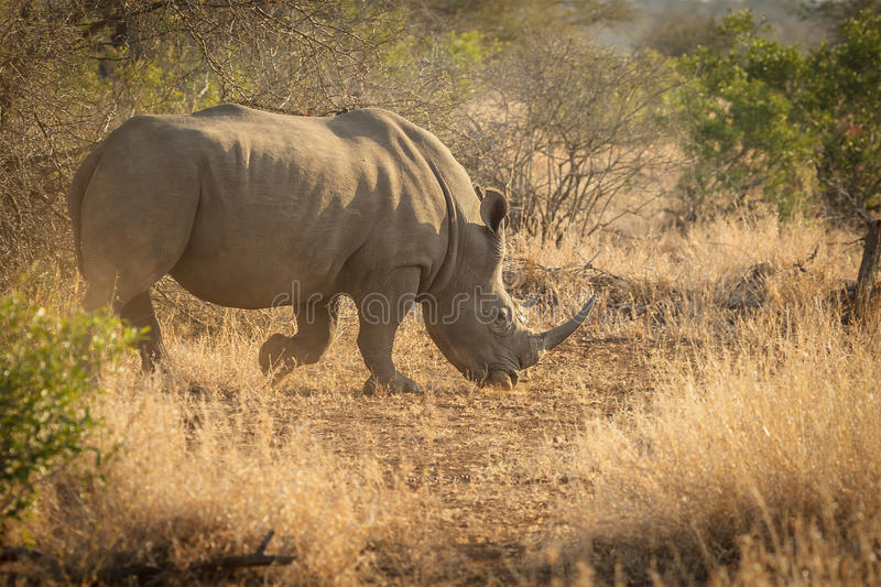 White rhino. In Kruger National Park stock photos