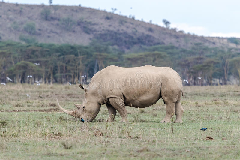 White Rhino in Lake Nakuru stock photo