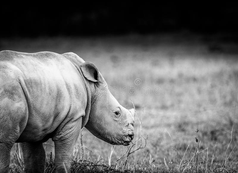White Rhino in Lake Nakuru. East Africa, Kenya royalty free stock photo