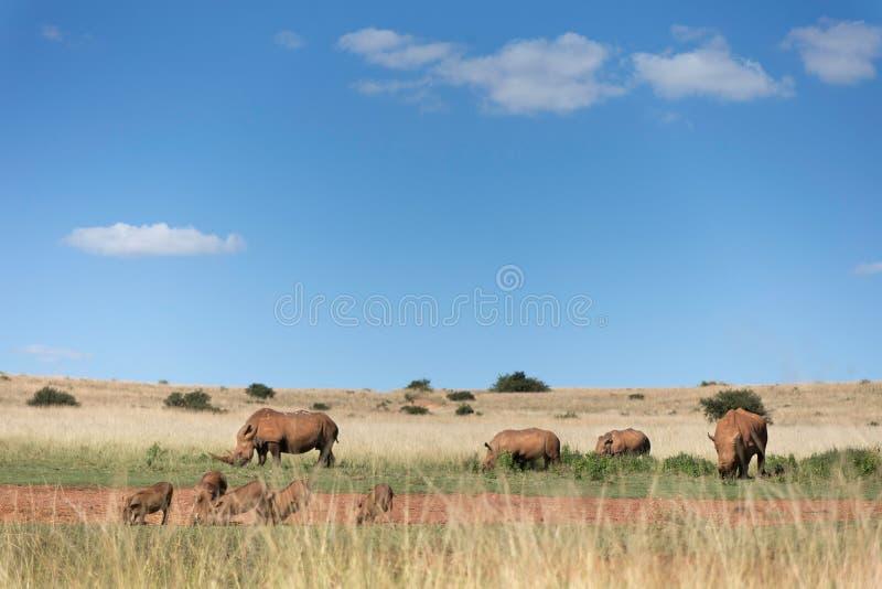 White Rhino Landscape stock photography