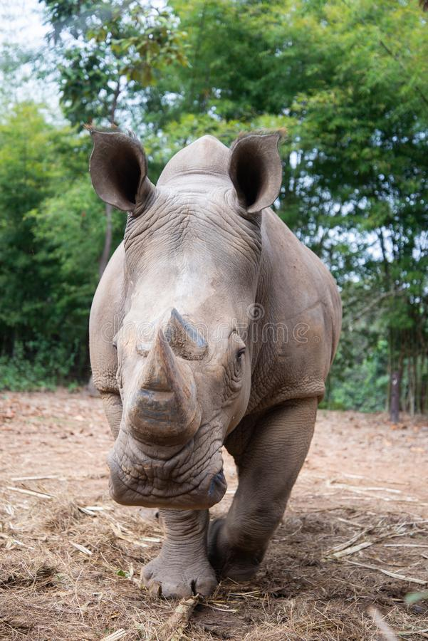 White rhino. The white rhino lives in Africa, in long and short-grass savannahs stock photo