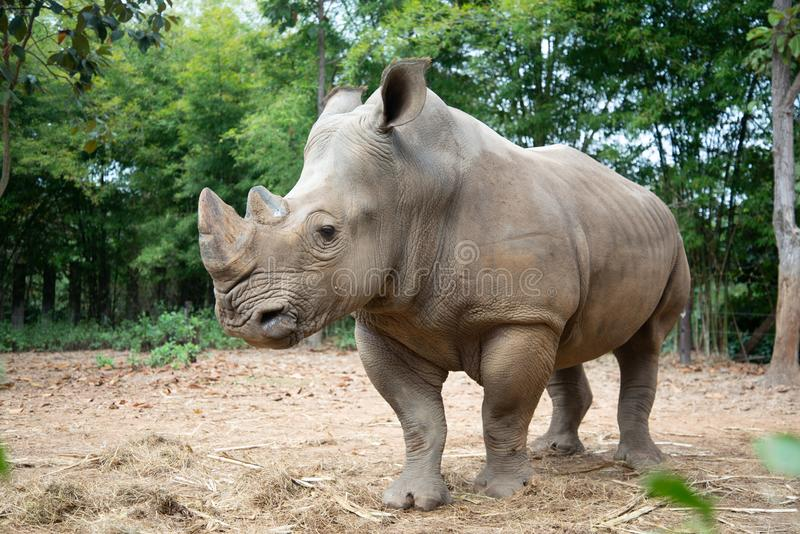 White rhino. The white rhino lives in Africa, in long and short-grass savannahs stock photography
