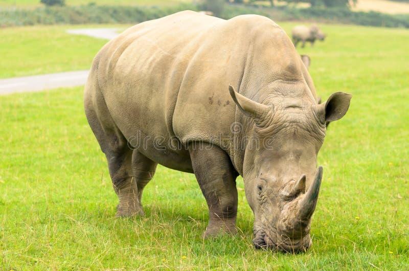 White Rhino. At longleat england royalty free stock photography
