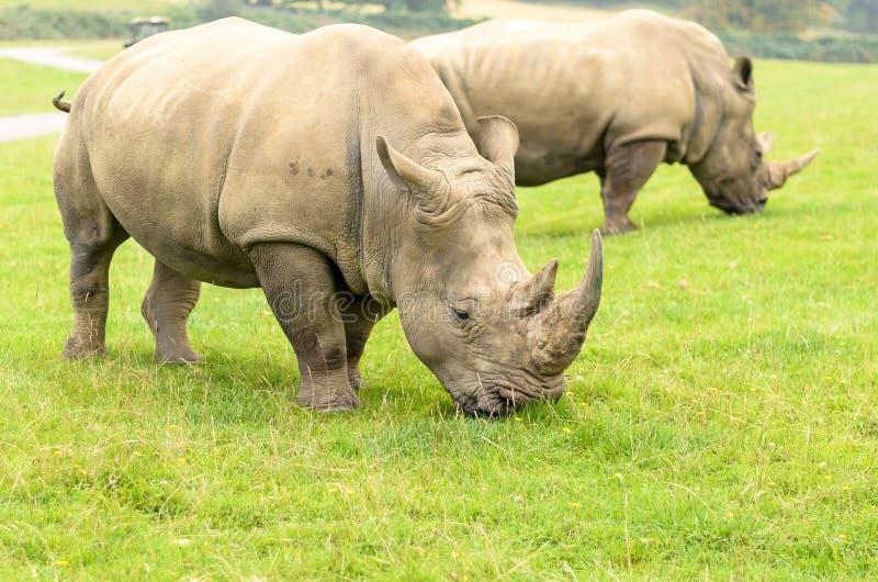 White Rhino. At longleat england stock images
