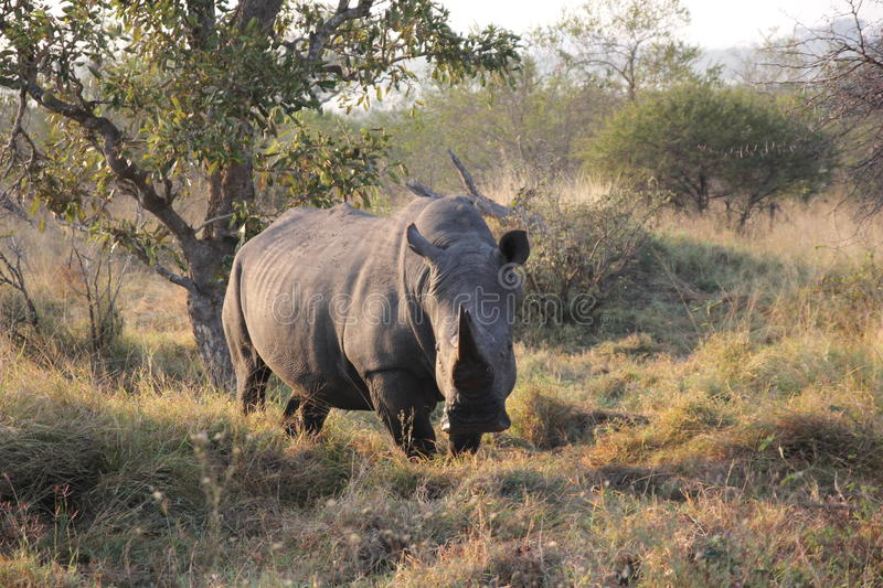 White rhino. A white rhino is looking towards the camera in Kruger Park, South Africa royalty free stock photos
