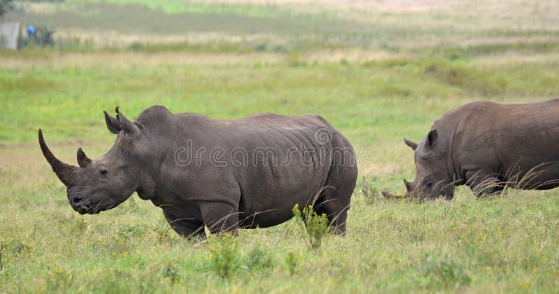 White Rhino royalty free stock images