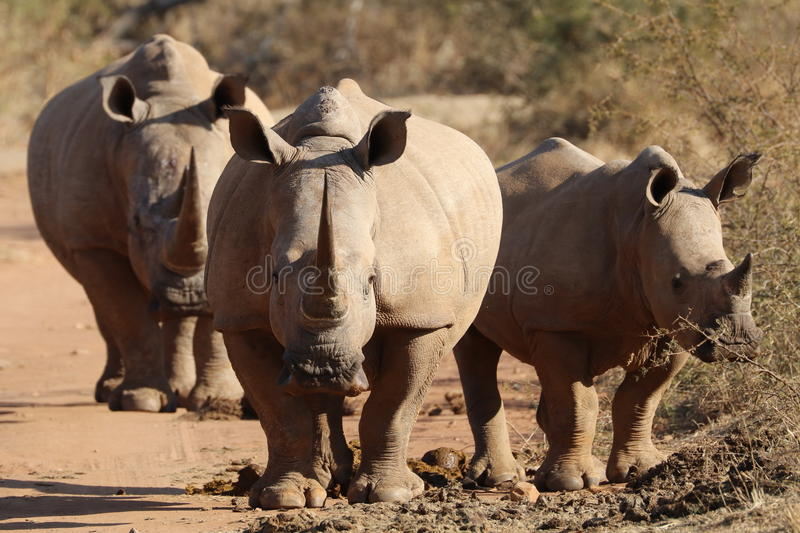 White rhino at midden stock photography