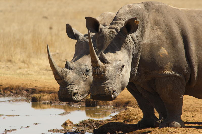 White Rhino mirror image. At a water hole stock image