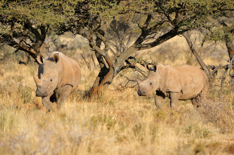 White rhino mother and calf. In the Mokala National Park of South Africa stock images