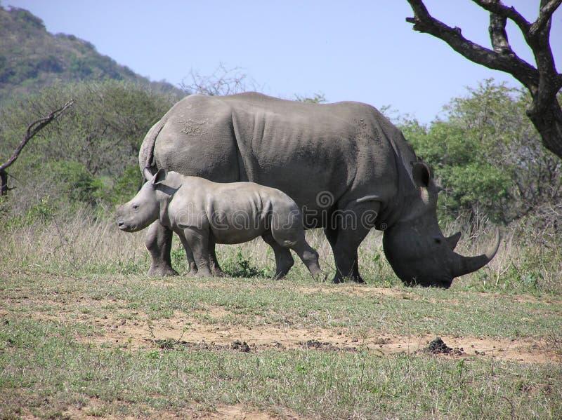White rhino mum and baby. At Imfolozi Game Reserve royalty free stock photography