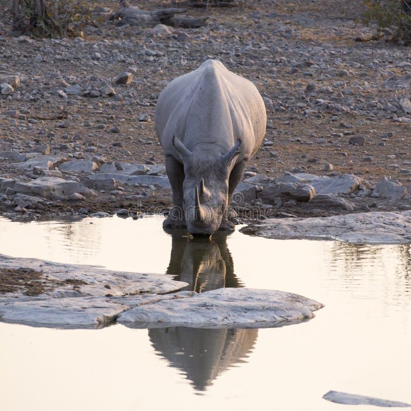 White rhino in Namibia. Natural park stock photos