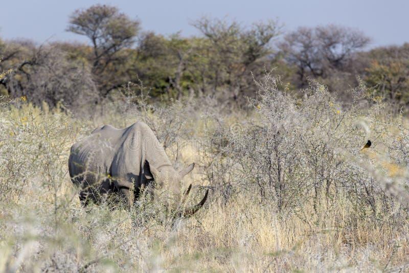 White rhino in Namibia. Natural park royalty free stock photos