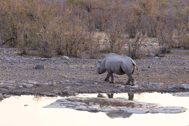 White rhino in Namibia. Natural park stock photo