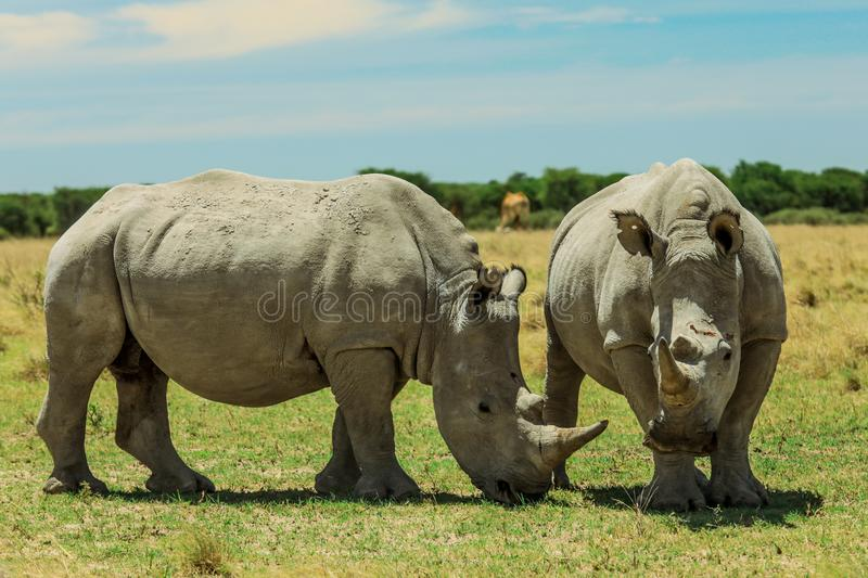 White Rhino in the Nxai Pan Park, Botswana, Africa stock photos