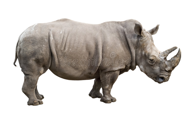 White rhino old male cutout. White rhino (Ceratotherium simum) old male isolated on white with clipping path. Side view stock photo