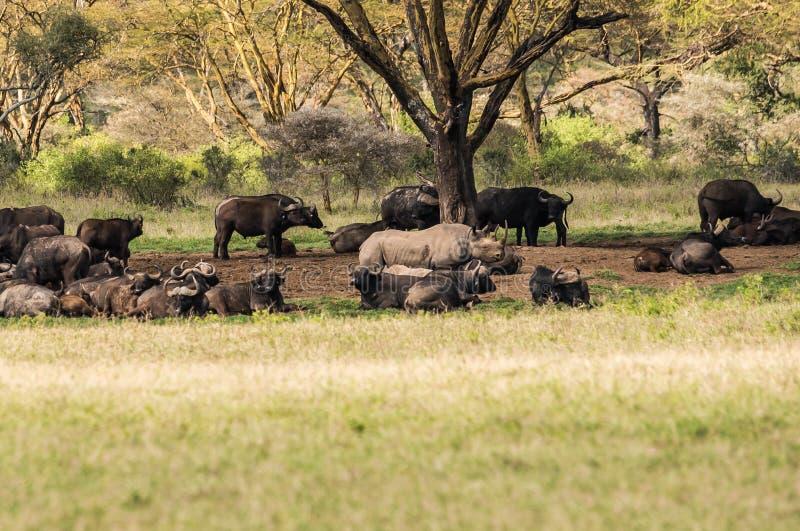 White rhino and other animals grazing in a shroud near Lake Nakuru in Kenya in Africa royalty free stock image