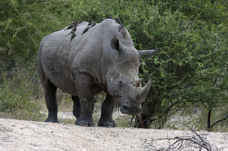 White rhino with ox peckers. An African white rhinoceros with ox peckers on its back after a fight with another rhino royalty free stock image