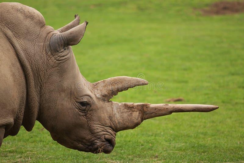 White Rhino. Photo portrait of a white rhino royalty free stock images