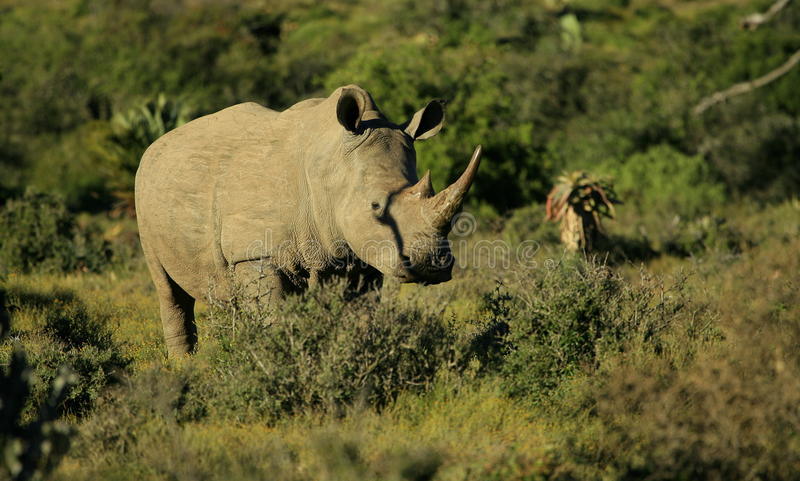 White rhino portrait. A big female white rhino cow stands in the bush in South Africa stock image