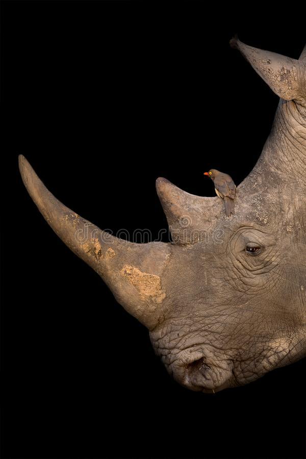White rhino portrait with a red-billed oxpecker on its nose on black background artistic conversion. White rhino portrait with a red-billed oxpecker on its nose stock photography