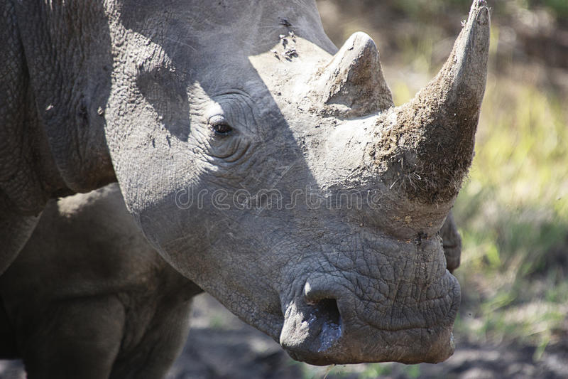 White rhino. Portrait of a White Rhinoceros - Witrenoster (Ceratotherium simum) in a game park in South Africa royalty free stock photography