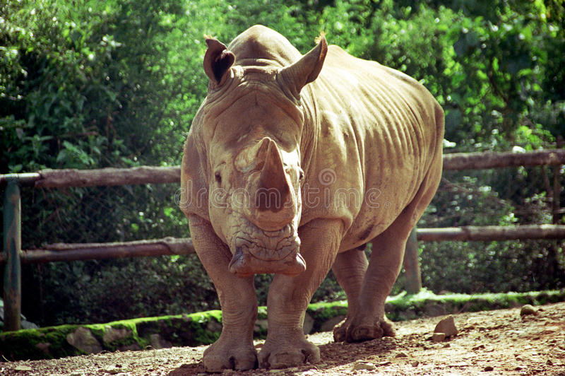 White Rhino. Portrait of a White Rhino in Safari Park Indonesia stock photography