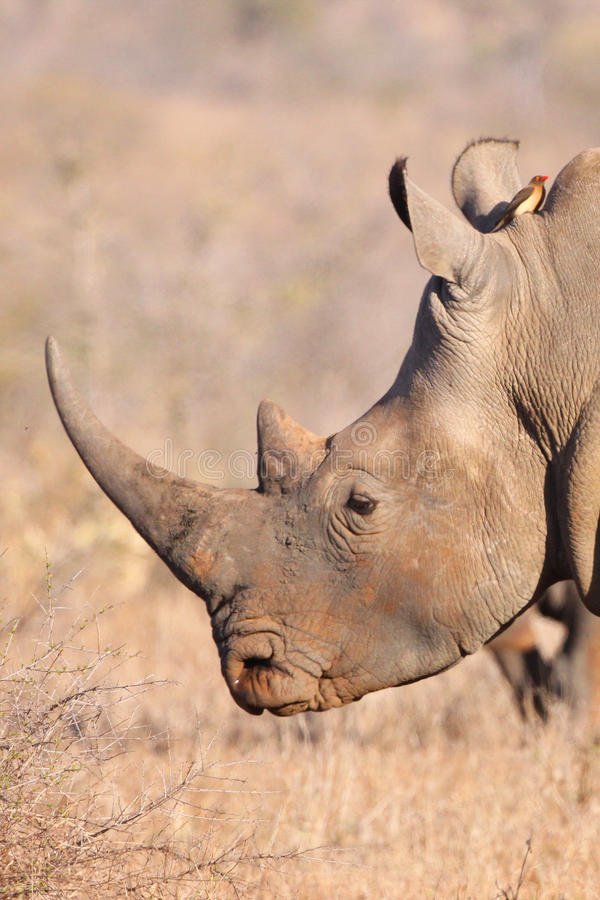 White Rhino profile. White Rhino Bull photgraphed in the wild of South Africa royalty free stock photo