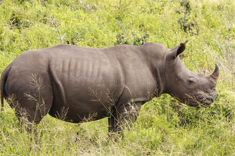 White Rhino. Profile - White (square-lipped) rhinoceros (Ceratotherium simum), in a game park - South Africa stock images