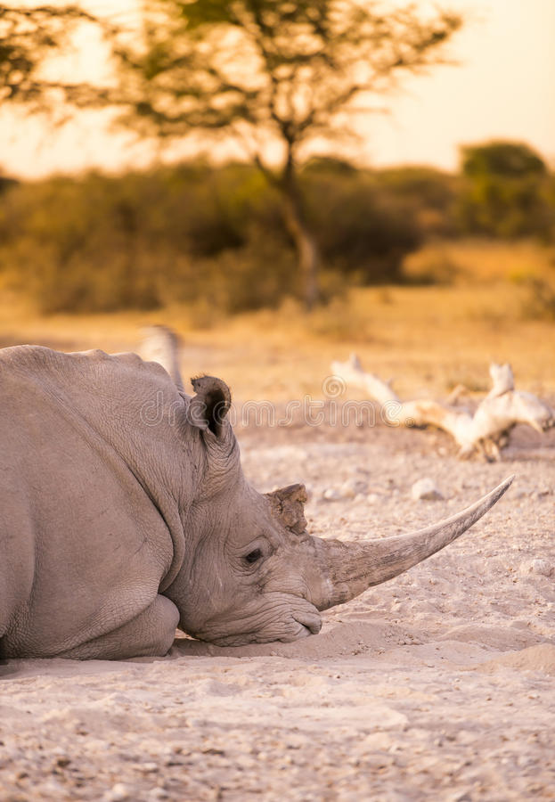 White Rhino Resting. White Rhino or Rhinoceros while on safari in Botswana, Africa stock images