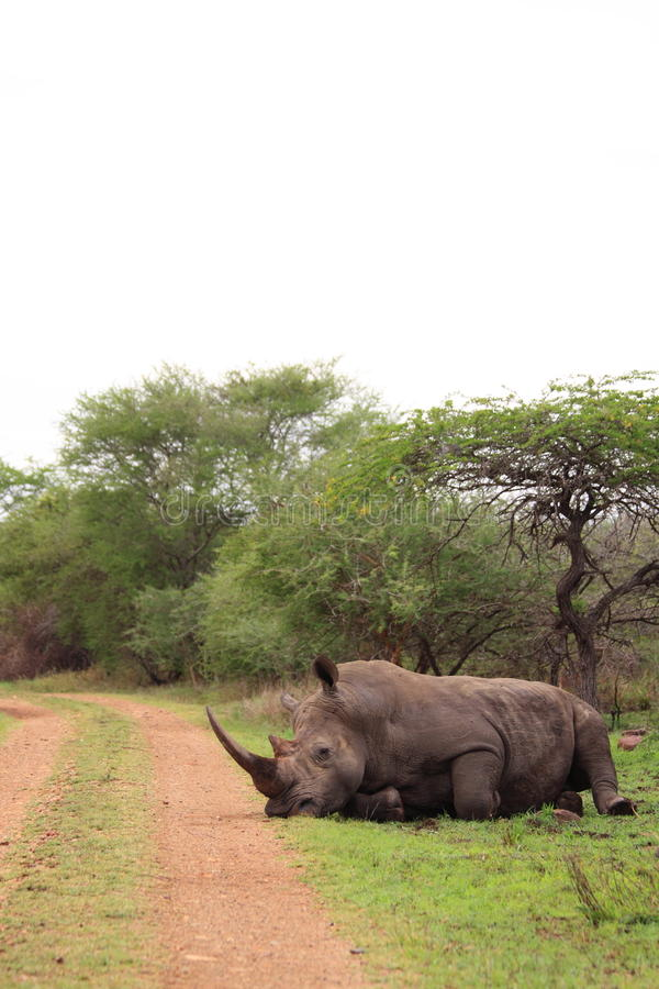 White rhino resting in the wilderness royalty free stock photography