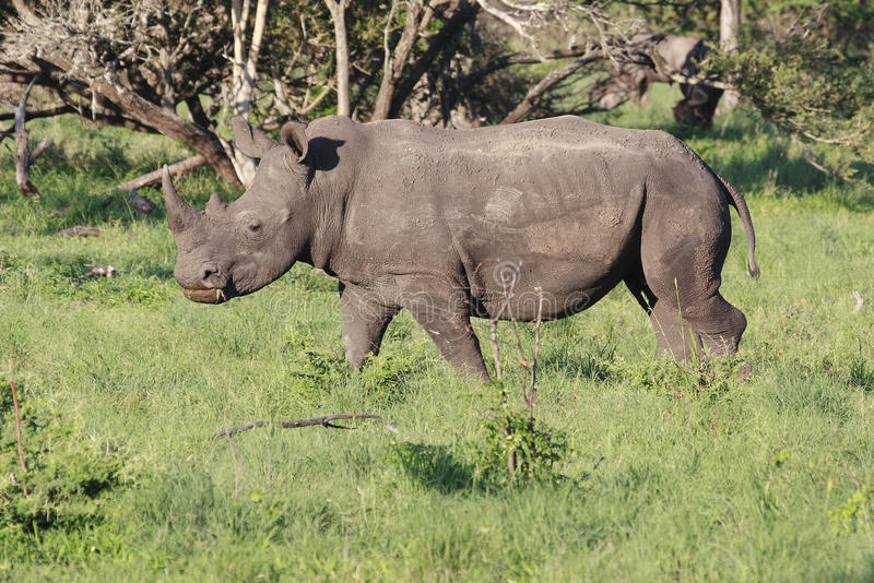 White Rhino. Ceros (Ceratotherium simum), grazing in a game park in South Africa royalty free stock images